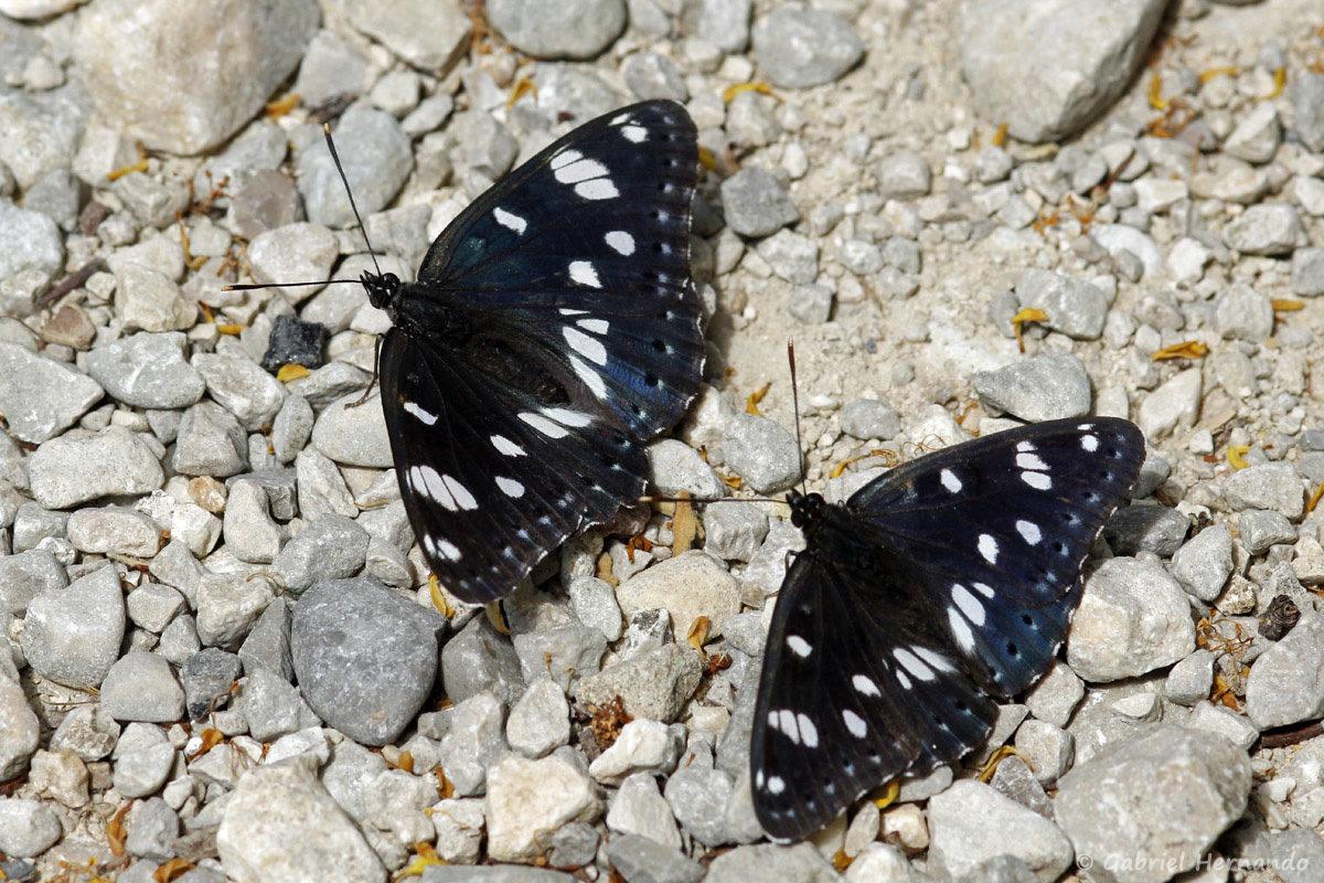 Limenitis reducta, le Sylvain azuré, est une espèce de lépidoptères (papillons) de la famille des Nymphalidae. Il est proche du petit sylvain, mais avec des reflets bleutés et une répartition plus méridionale.