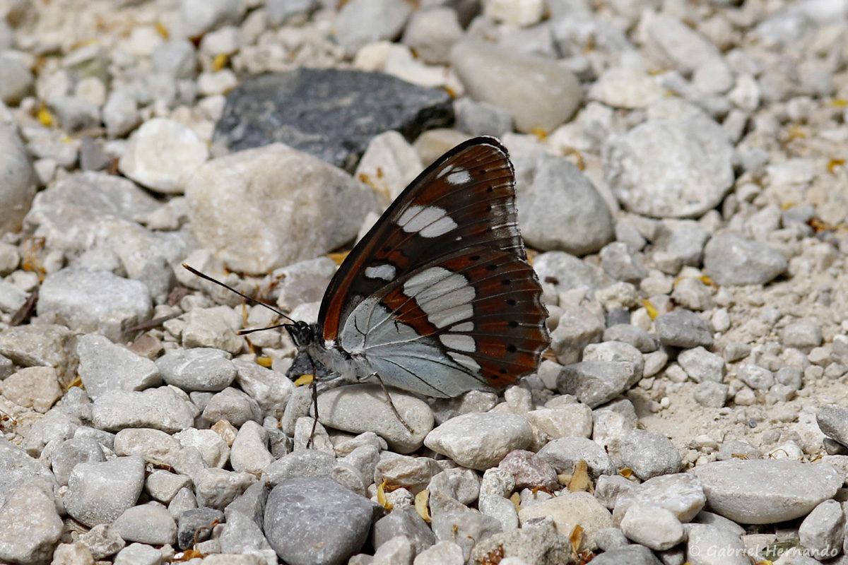 Limenitis reducta, le Sylvain azuré, est une espèce de lépidoptères (papillons) de la famille des Nymphalidae. Il est proche du petit sylvain, mais avec des reflets bleutés et une répartition plus méridionale. Photographie réalisée le 18 juin 2019, à la sortie de Malaucène, sur la route du Ventoux, au niveau de la source du du Groseau