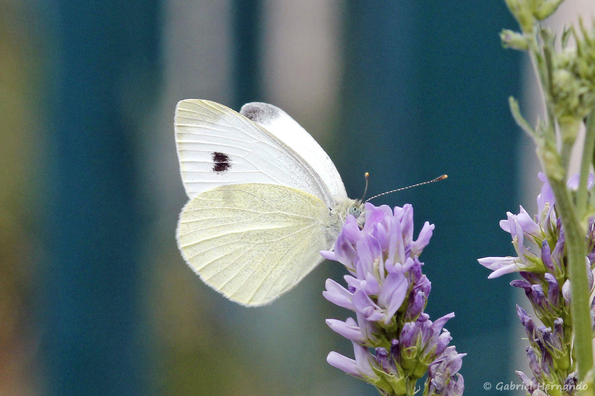 Papillon non identifié