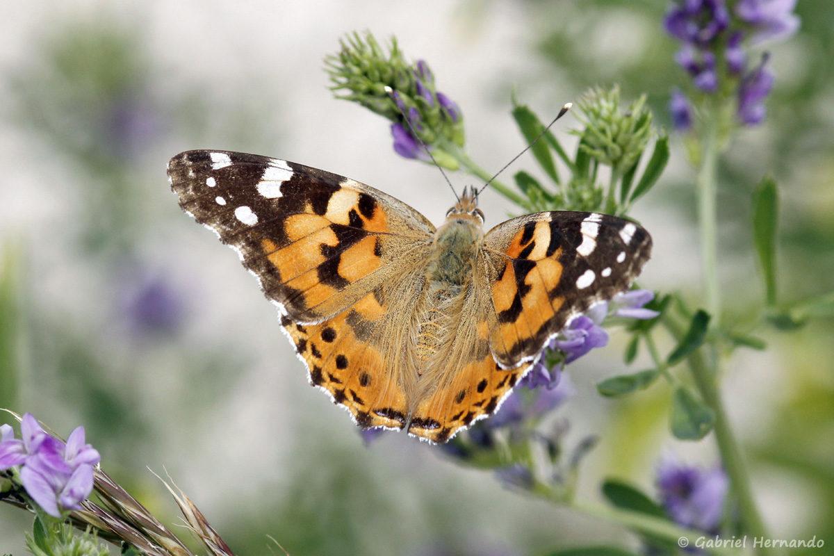 Vanessa cardui, la Belle-Dame ou Vanesse des chardons, est une espèce de lépidoptères (papillon) cosmopolite, de la famille des Nymphalidae.