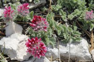 Anthylis montana, la vulnéraire des montagnes ou anthyllide des montagnes
