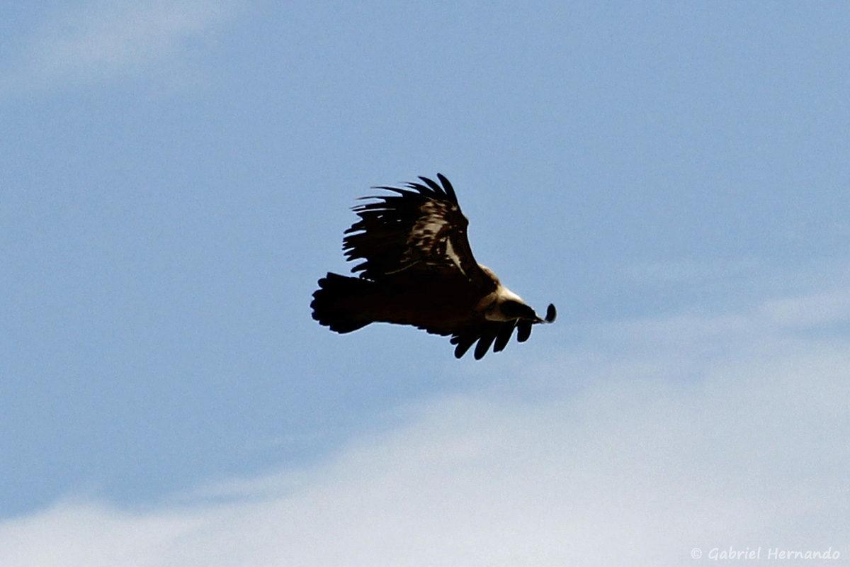 Aquila chrysaetos, l'aigle royal, en plein vol, au sommet du Mont Ventoux