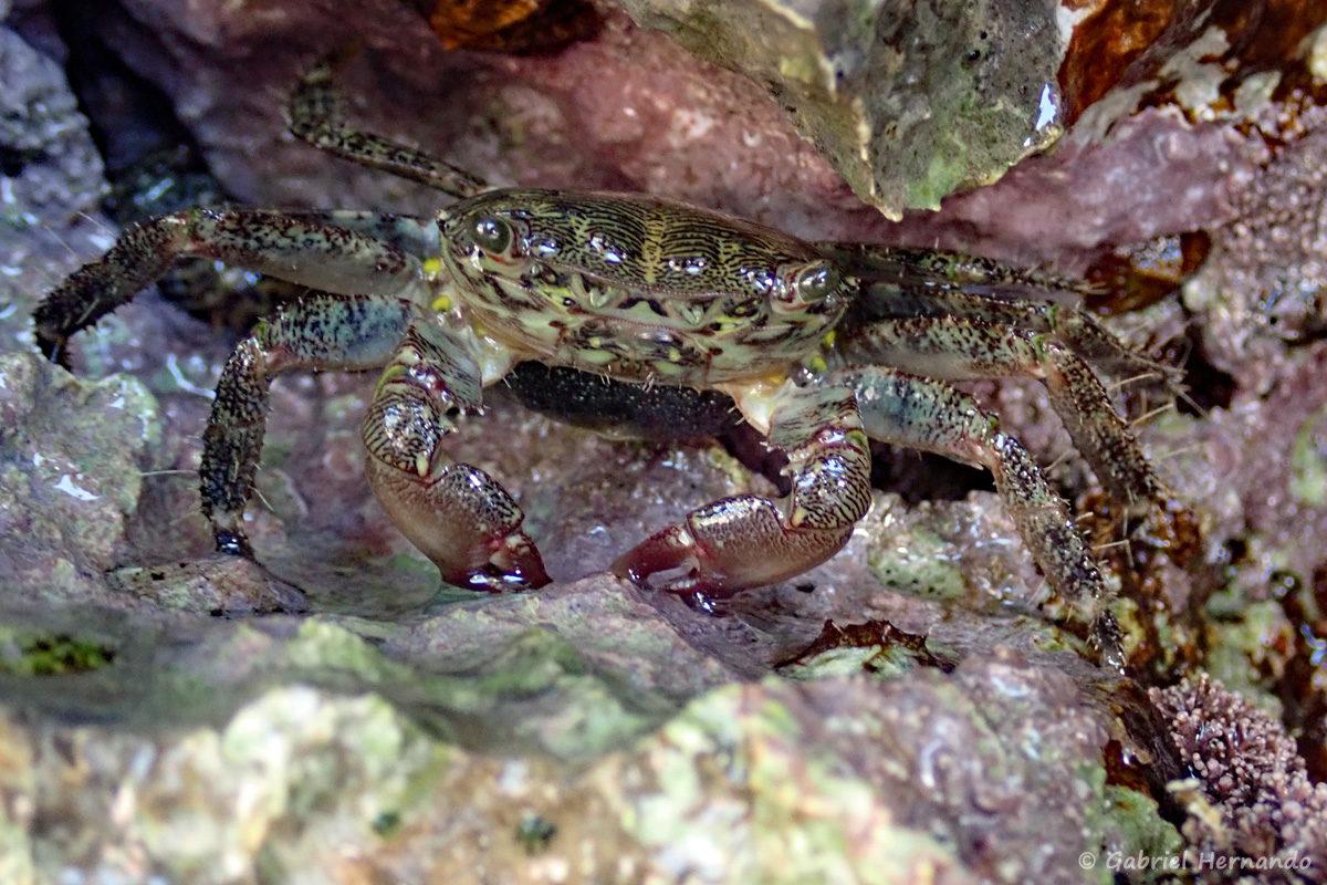 Pachygrapsus marmoratus, le crabe marbré, photographié dans la calanque de Port Pin, en juin 2019
