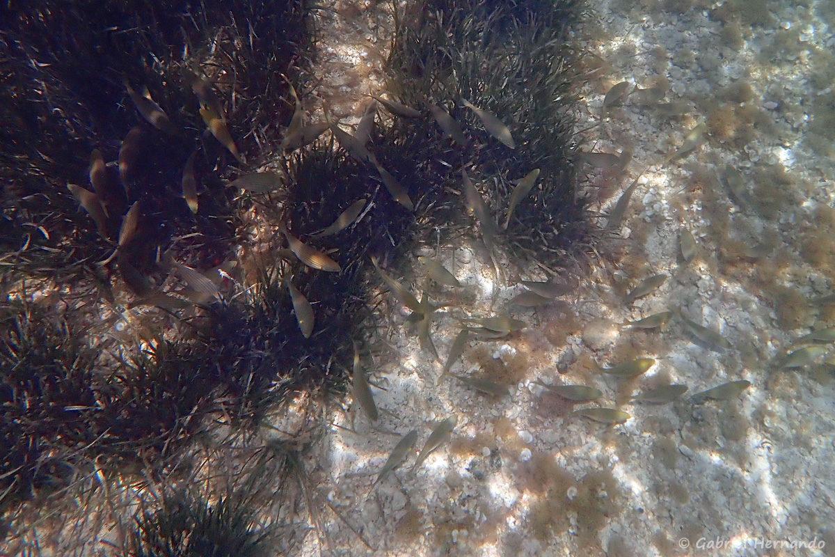 Banc de Sarpa salpa se nourrissant dans un massif de posidonies et sur le sable, dans la calanque d'En-Vau, photographié en juin 2019. Sarpa est un genre monotipique, c'est à dire qu'il ne comprend qu'une seule espèces, appartenant à la famille des sparidés. Sarpa salpa appelé saupe, daurade rayée, daurade jaune, est commune en Méditerranée.