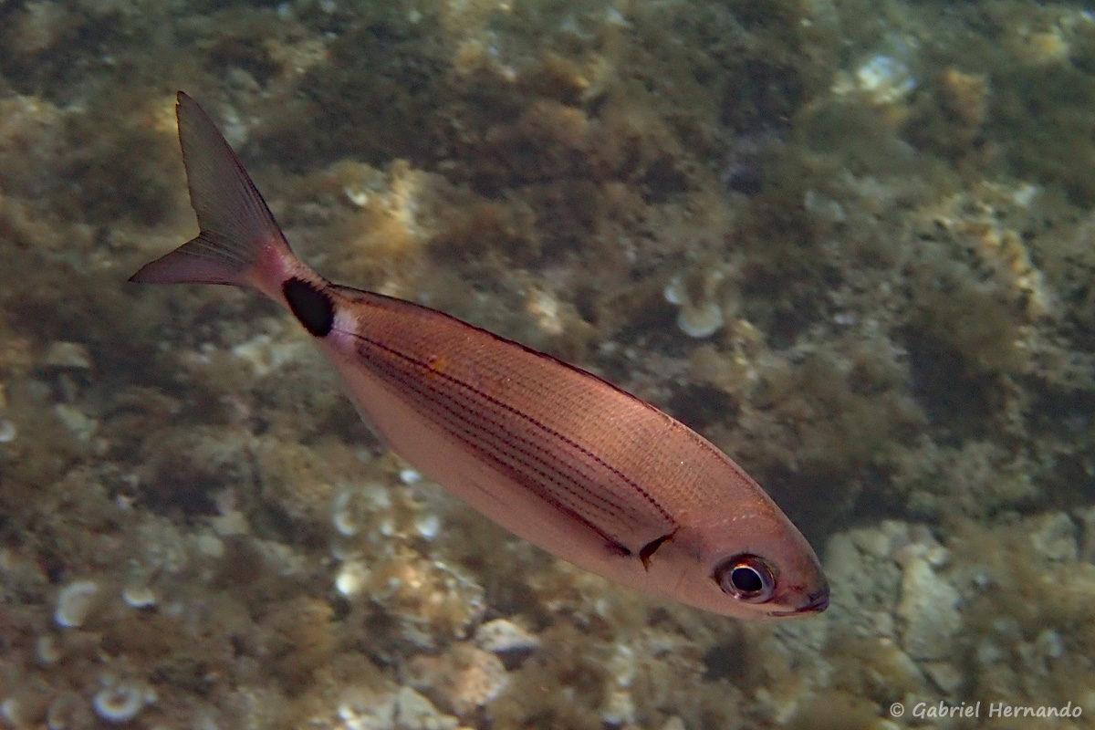 Oblada melanura, l'oblade ou blade, est un poisson de la famille des sparidés, proche des dorades. Le genre Oblada est mono typique, c'est à dire qu'il ne comprend qu'une seule espèce. Oblada melanura mesurant jusqu'à 30 cm1, avec un corps fuselé argentée, et une tache noire cerclée de blanc sur le pédoncule caudal. L'espèce est abondant en Méditerranée, dans les eaux côtières jusqu'à 40 m de profondeur. Photographie réalisée en juin 2019 dans la Calanque d'En-Vau.