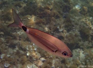 Oblada melanura - Oblade ou blade (calanque d'En-Vau, juin 2019), poisson de la famille des sparidés, proche des dorades. Le genre Oblada est monotypique et abondant en Méditerranée, dans les eaux côtières jusqu'à 40 m de profondeur.