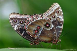 Morpho peleides (Papiliorama de Kerzers, Suisse, décembre 2008), espèce de la famille des Nymphalidés