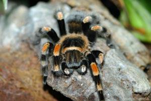 Brachypelma smithi, espèce d'araignée endémique du Mexique (Papiliorama de Kerzers, Suisse, décembre 2008)