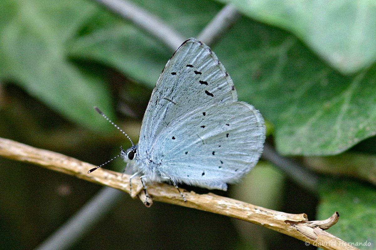 Celastrina argiolus - Azuré des nerpruns ou Argus à bande noire, de la famille des Lycaenidae (Vironvay, Eure, mai 2010)