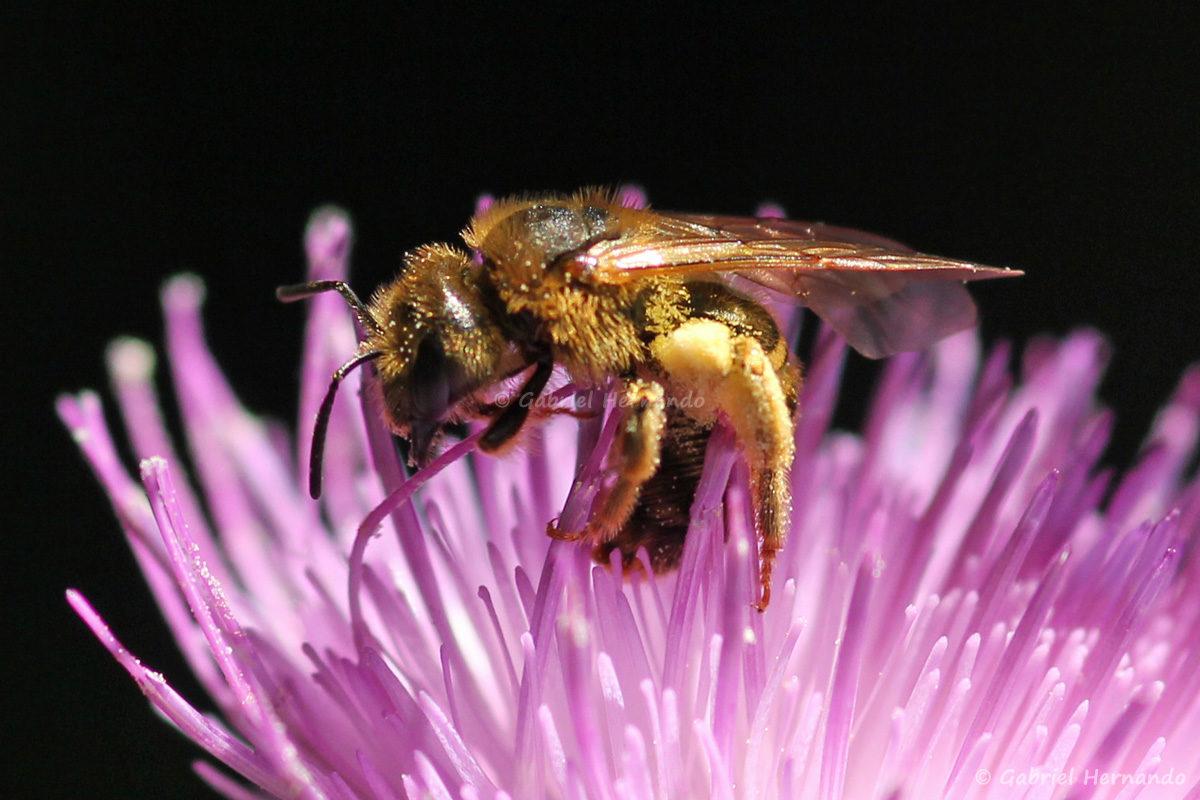 Apis melliferra, l'abeille européenne, l'avette ou la mouche à miel est une abeille à miel domestique originaire d'Europe.