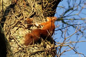 Sciurus vulgaris, l'écureuil roux, rongeur arboricole diurne, est l'écureuil commun de nos région. Photographie ralisée le 1er janvier 2015, sur les coteaux de Saint-Marcel (27)