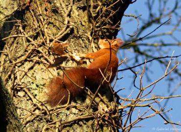 Sciurus vulgaris - Ecureuil roux, rongeur arboricole diurne, commun de nos région (Saint Marcel (27), janvier 2015)