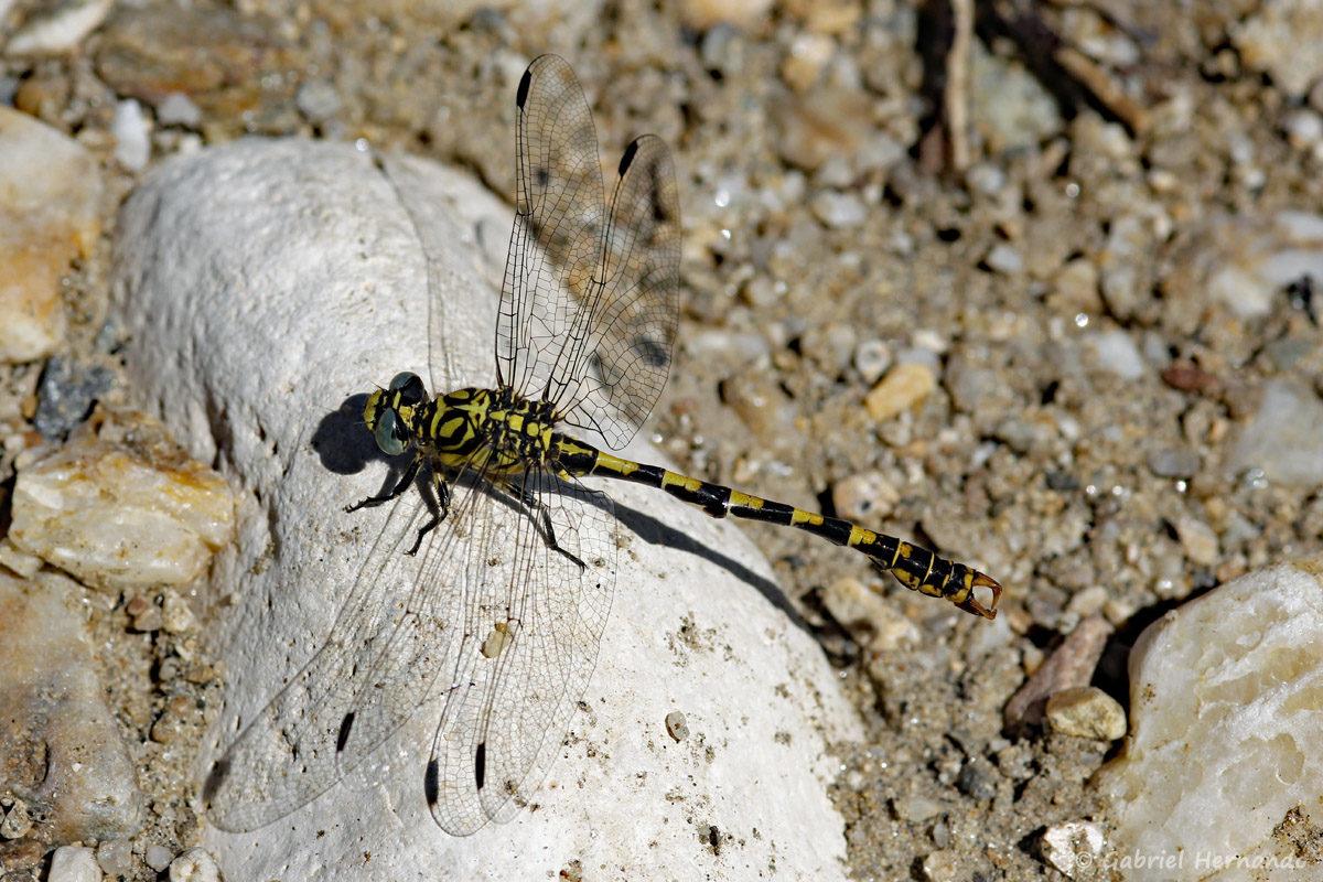 Onychogomphus forcipatus, l'onychogomphe à pinces ou gomphe à pinces