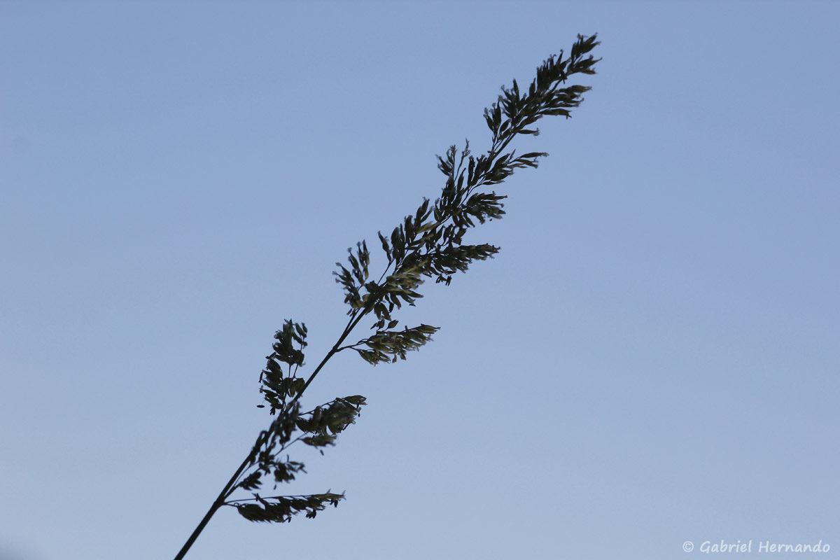 Graminée photograhié au vent, sous un beau ciel bleu, sur les berges de la Cèze, à La Roque-Sur-Cèze.