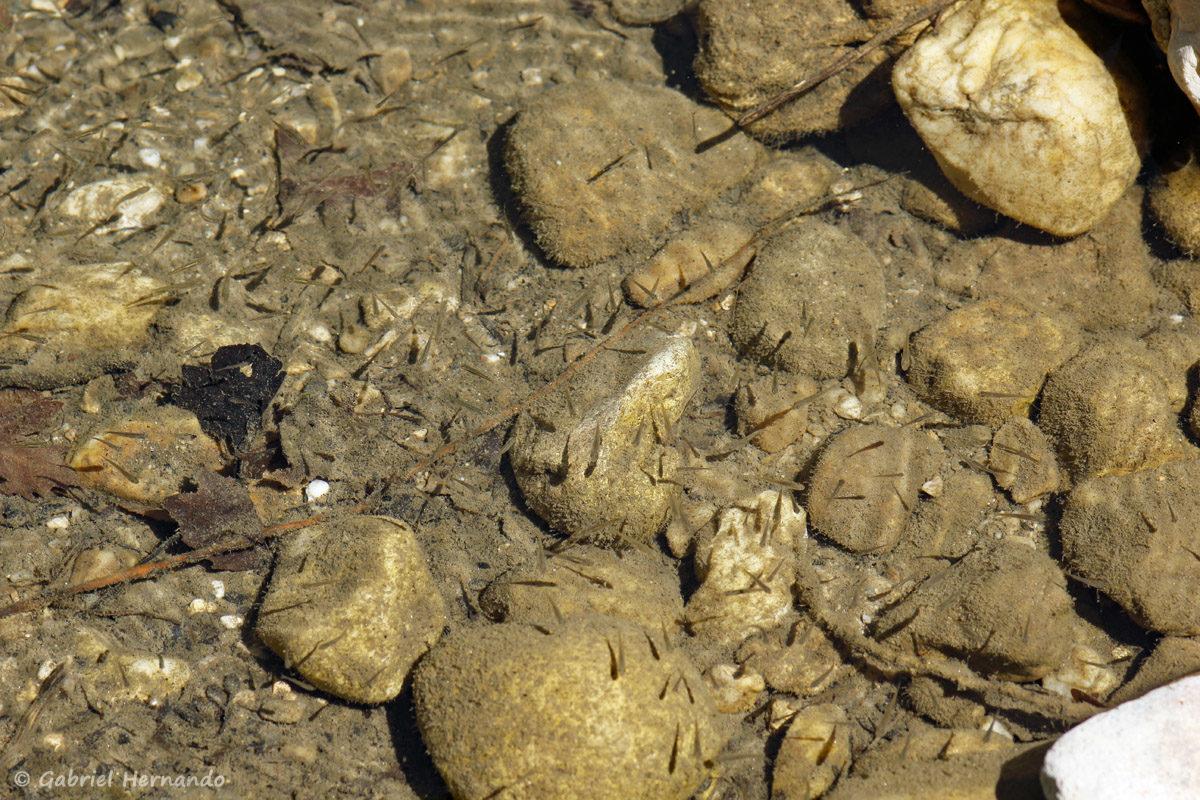 Nuée d'alevins dans la Cèze, en aval des cascades du Sautadet