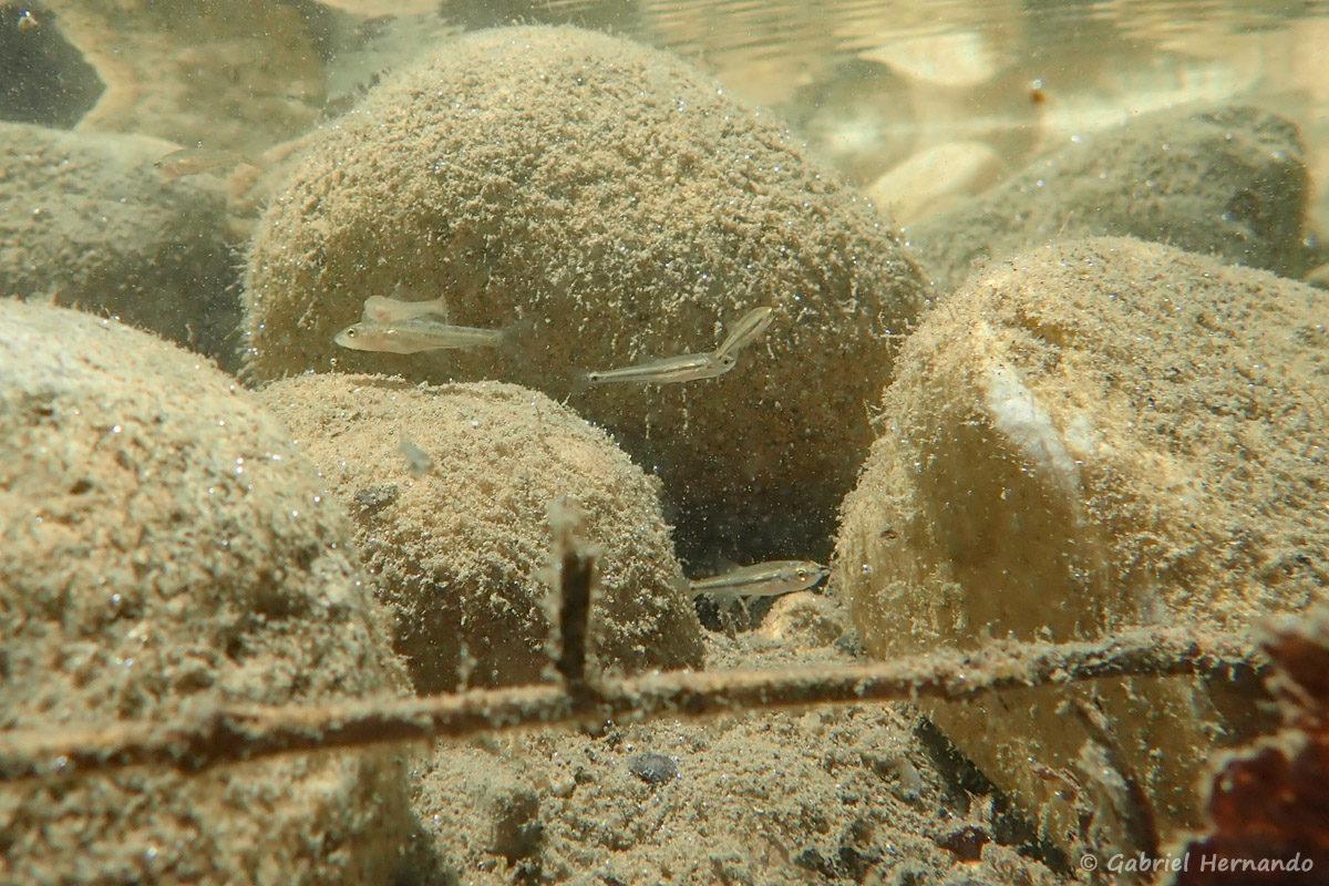 Alevins non identifiés photographiés sous l'eau, dans la Cèze, en amont des cascades du Sautadet