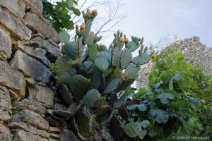 Cactus en fleur et figuier, dans le village de la Roque-Sur-Cèze.