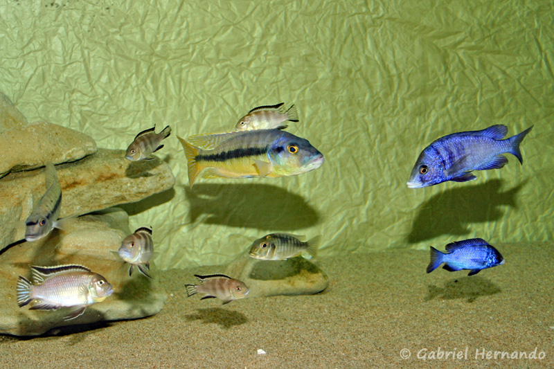 Cichlidés du lac Malawi, dans un aquarium de 1800 litres