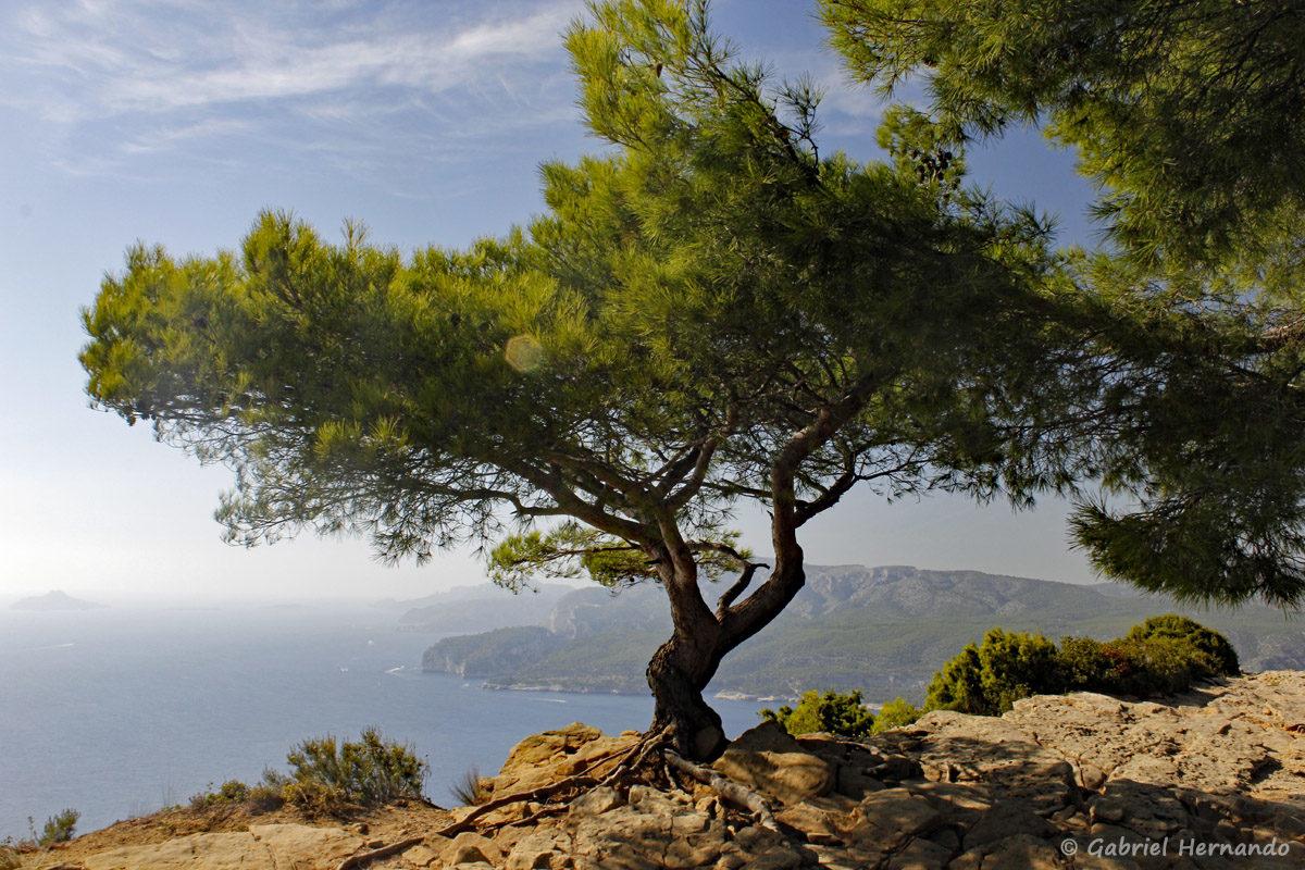 Pin au sommet de la falaise, avec le parc des calanques en arrière plan