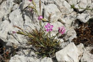 Dianthus longicaulis - Oeillet virginal (île de Pomégues de l'archipel du Frioul, juin 2019)