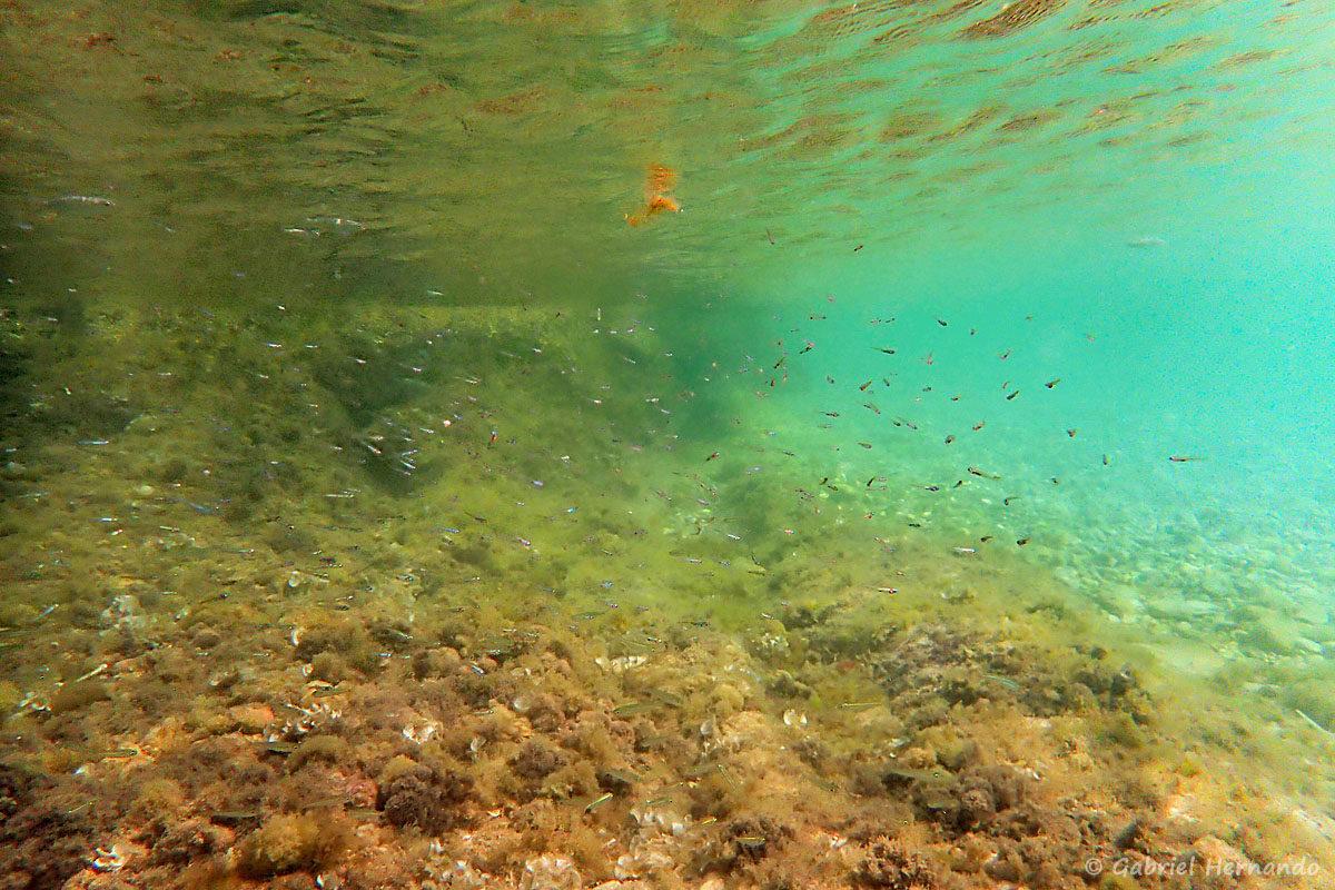 Fonds marin dans la calanque Flacandou, avec bans d'alevins