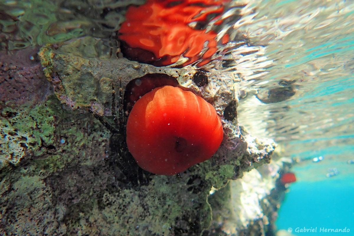 Actinia equina, la tomate de mer, photographiée dans la calanque Cap Frioul, sur l'île de Pomégues de l'archipel du Frioul, en juin 2019