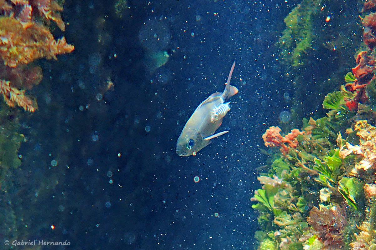 Anilocra physodes, l'anilocre de la Méditerranée ou pou de mer, parasitant un mulet, photographié dans la calanque Cap Frioul, sur l'île de Pomégues de l'archipel du Frioul, en juin 2019