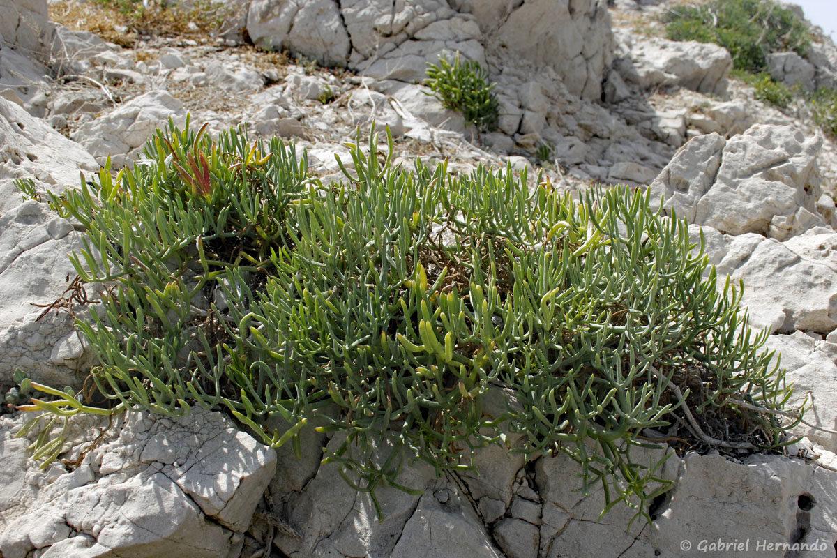 Crithmum maritimum, Crithme, Fenouil marin ou Perce-pierre, photographié sur l'île de Pomégues de l'archipel du Frioul, en juin 2019