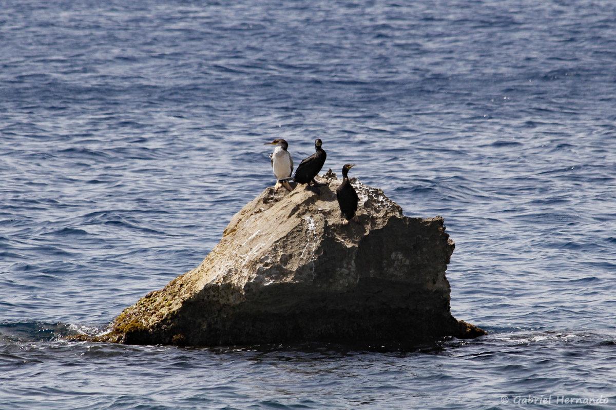 Phalacrocorax aristotelis, Cormorans huppés, sur le Rocher du Frioul, à louest de la calanque Cap Frioul, de l'île de Pomégues sur l'archipel du Frioul, photographiées en juin 2019