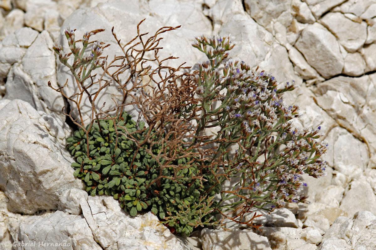 Limonium pseudominutum, la saladelle naine, faux statice nain ou faux limonium nain, photographiée sur l'île de Pomégues, dans l'archipel du Frioul, en juin 2019