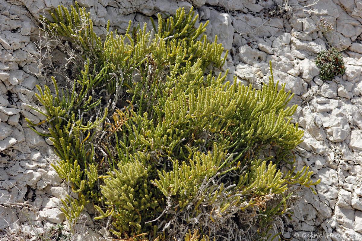 Arthrocnemum macrostachyum, la salicorne glauque, photographiée sur l'île de Pomégues de l'archipel du Frioul, en juin 2019