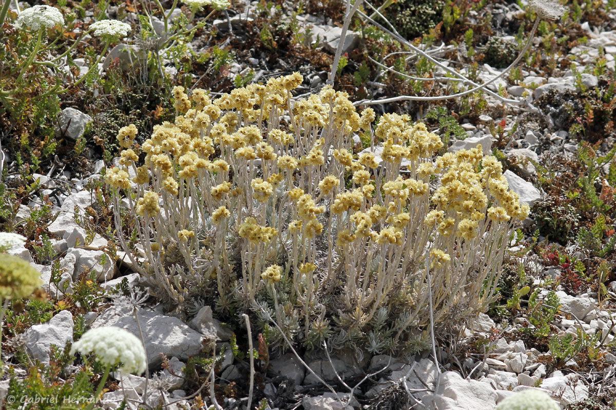 Helichrysum stoechas, l'Immortelle commune, photographié sur l'île de Pomégues, dans l'archipel du Frioul, en juin 2019