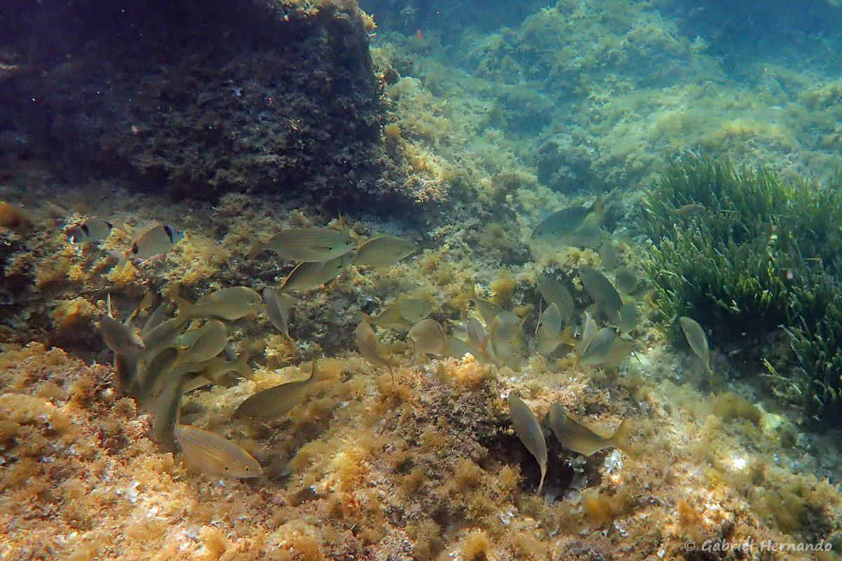 Banc de Sarpa salpa (Saupe), avec deux Diplodus vulgaris (sar à tête noire), dans la calanque Flacandou, sur l'île Pomégues, photographié en juin 2019