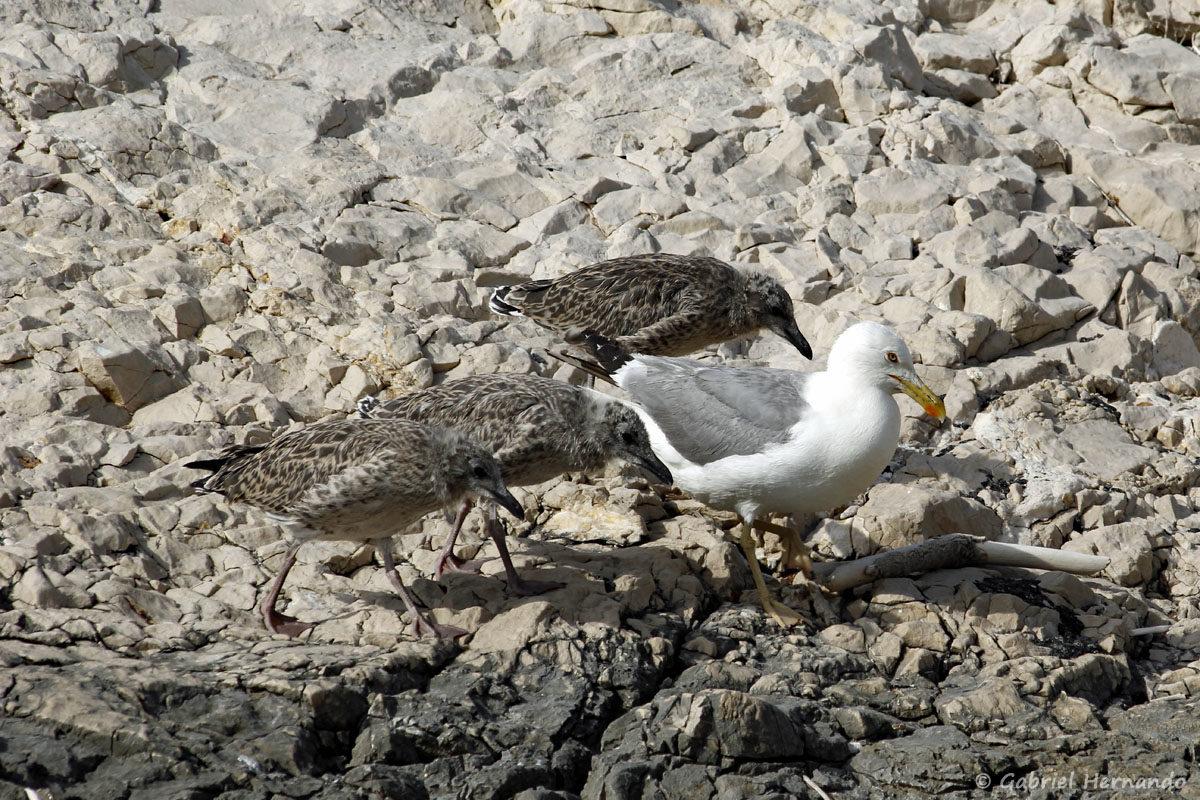 Larus michahellis, le goéland leucophée, sur l'île Pomégues, dans l'archipel du Frioul