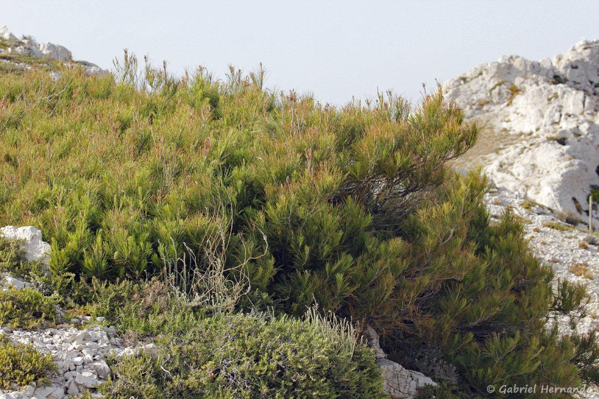 Pin couché, pouvant avoir une quarantaine d'année, recroquevillé dans un creux de rocher, sur l'île de Pomégues