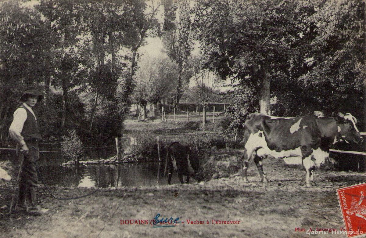 Douains, 1909 - Vaches à l'Abreuvoir