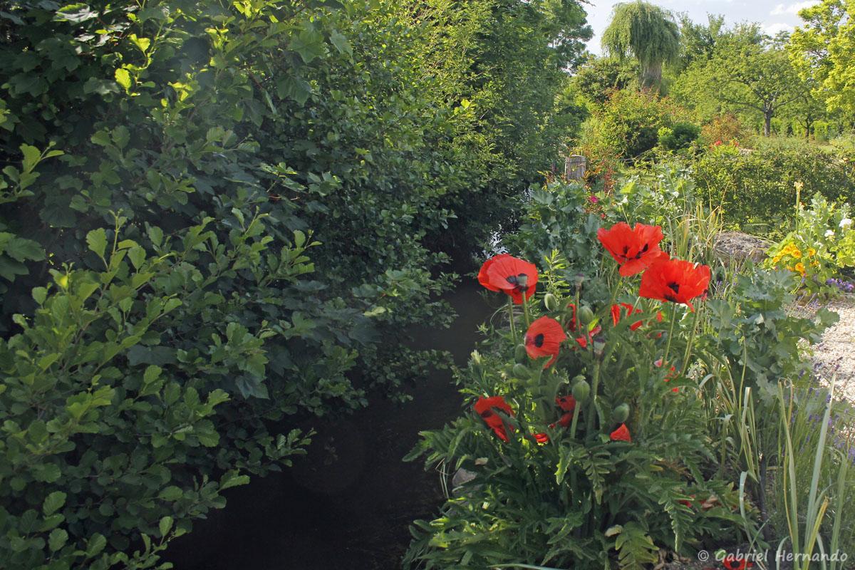 Pavots en fleur surmontant un bras de l'Eure provenant du Béchet