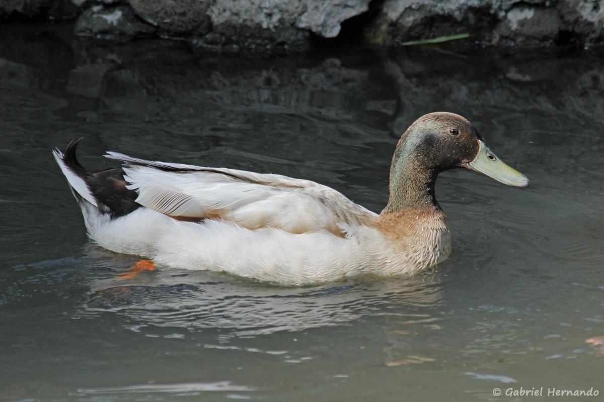 Hybride de canard col vert, dans un bras de l'Eure provenant du Béchet à Croisy-sur-Eure