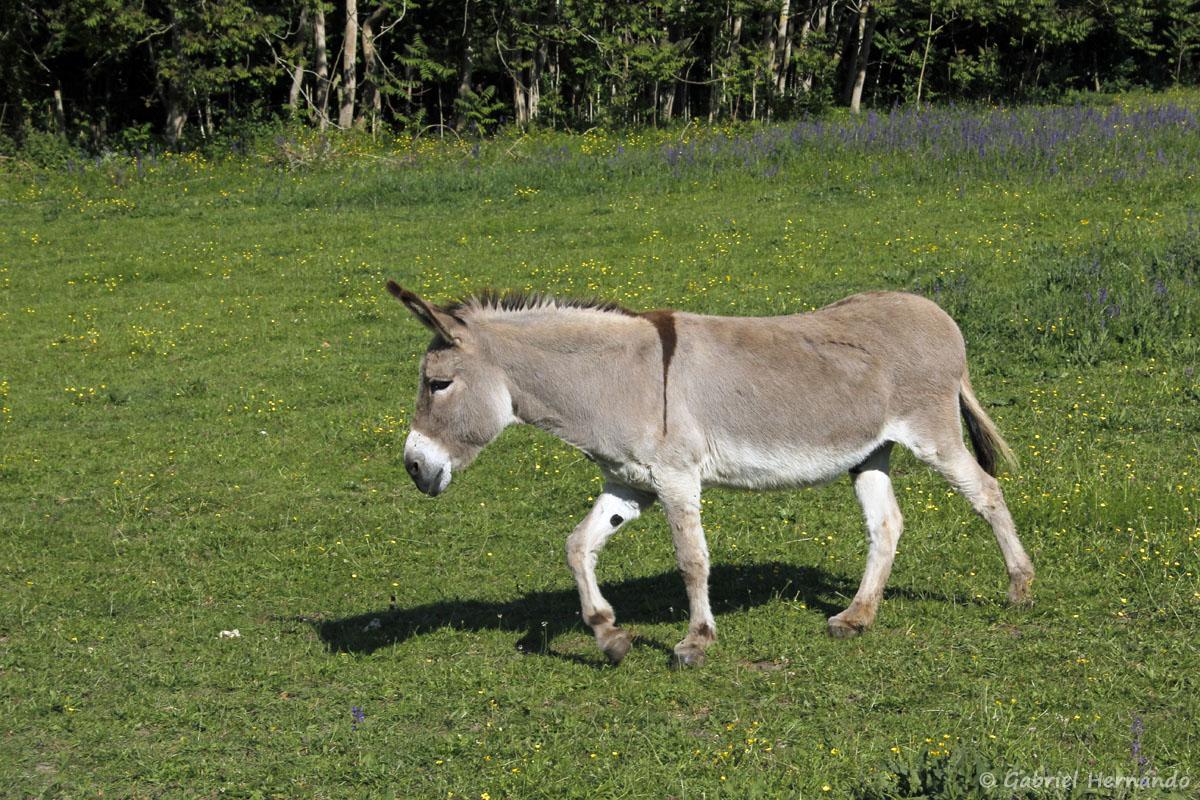 L'âne dans la pâture