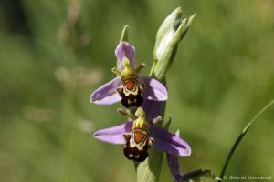 Ophrys apifera, Ophrys abeille (Pressagny l'Orgueilleux, le 28 mai 2020)