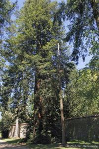 Sequoia sempervirens, le Séquoia toujours vert, originaire d'Amérique du nord (Arboretum du domaine d'Harcourt, 29 mai 2020)