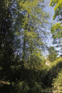 Taxodium ascendens Nutkensis, le cyprès chauve forme dressée, originaire du sud-est des USA (Arboretum du domaine d'Harcourt, 29 mai 2020)