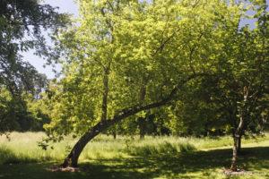Acer nnegundo, l'érable negondo, originaire d'Amérique du Nord (Arboretum du domaine d'Harcourt, 29 mai 2020)