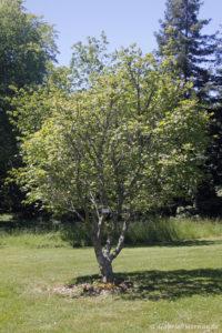 Acer circinatum, l'érable vigne, originaire de l'ouest de l'Amérique du Nord (Arboretum du domaine d'Harcourt, 29 mai 2020)