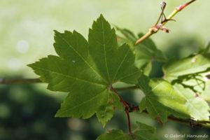 Acer circinatum, l'érable vigne, la deuille (Arboretum du domaine d'Harcourt, 29 mai 2020)