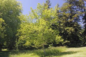 Acer rubrum, l'érable rouge, originaire de l'est de l'Amérique du Nord (Arboretum du domaine d'Harcourt, 29 mai 2020)