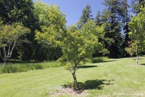 Acer tataricum, l'érable de Tartarie, originaire d'Europe Centrale (Arboretum du domaine d'Harcourt, 29 mai 2020)