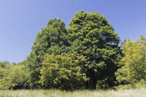 Acer ginnala, l'érable de l'Amour, originaire d'Asie et Acer campestre, l'érable champêtre, originaire d'Europe (Arboretum du domaine d'Harcourt, 29 mai 2020)