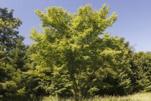 Arbre non identifié (Arboretum du domaine d'Harcourt, 29 mai 2020)