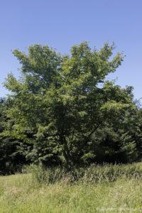Acer davidii, l'érable de David, originaire de Chine (Arboretum du domaine d'Harcourt, 29 mai 2020)